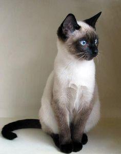 beautiful siamese! Siamese kittens, Siamese cats, Cute cats