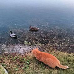 11月12日 土曜日 goodmorning! 無理だとわかっていても 一応 狙ってみる(笑) みーちゃん頑張れ! #おはよう#goodmorning#あさんぽ #朝ウォーク#ウォーキング#walking  #猫#ねこ#ネコ#愛猫#ぬこ#cat#cute #catstagram#catinstagram#animal #catsofinstagram#にゃんすたぐらむ  #にゃん#にゃんこ#ねこら部#ねこ部  #野良猫#地域猫#地域猫活動#TNR #TNR活動#耳カット#自由猫 #耳カットは野良ちゃんの避妊去勢のしるし