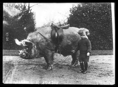 """Edwardian Menagerie of Sir Anthony Wingfield (1857-1952) of Ampthill, in Bedfordshire, England. Image, ca. 1900, of a saddled and bridled boar that was a popular member of Wingfield's Menagerie. The child is unidentified."""""""