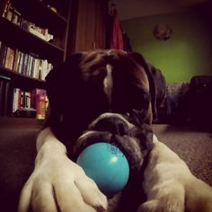 Loves his super bouncy ball #boxer #boxerlife #boxerdog...