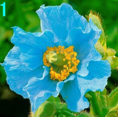 Poppy Seeds Rare Flower Seeds Garden Flower Seeds by Greenworld1