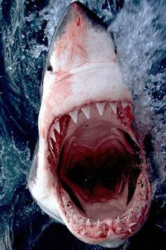 Types of Sharks – Most people think of a shark as a big violent predator with very sharp teeth ranging the sea in search of food. But in fact, there are over 400 different species of sharks. Shark Pictures, Shark Photos, Orcas, Water Animals, Animals And Pets, Types Of Sharks, Shark Mouth, Fauna Marina, Shark Art