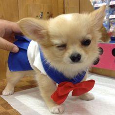 Chihuahuas Sailor Moon!   Nerd Da Hora