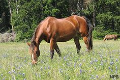 Morgan horses, long the top choice for NPS Rangers.