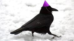 """oscarwildeboytoy: """"[Start ID: A crow walking in snow wearing a purple party hat. Animals And Pets, Baby Animals, Funny Animals, Cute Animals, Crows Ravens, Animal Memes, Creatures, Illustrations, Random"""