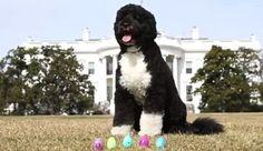 Easter Egg Roll  Bo White House Dog