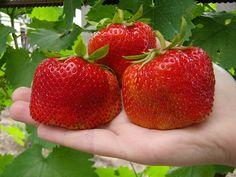 Когда видим на прилавках супермаркета замороженную крупную ягоду земляники, поневоле берет зависть. Своя же почему-то родится гораздо мельче. Но землянику-тяжеловес можно встретить и на рынках. Оказы…