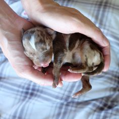 Here they are, nine days old! Doggies, Dogs And Puppies, Catahoula Cur, Leopard Dog, Kitten Love, Border Collies, Hound Dog, Puppy Pictures, Shiba Inu