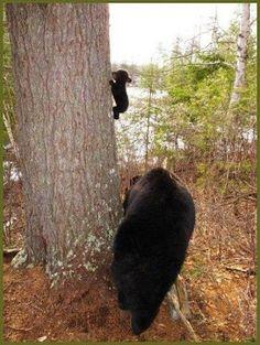 mama bear teaching her cub to climb