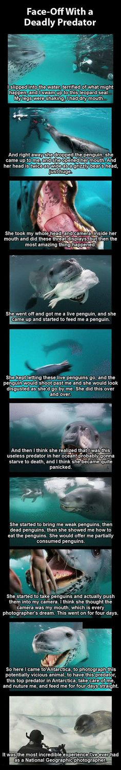 Photographer Vs. Deadly Leopard Seal Pictures, Photos, and Images for Facebook, Tumblr, Pinterest, and Twitter