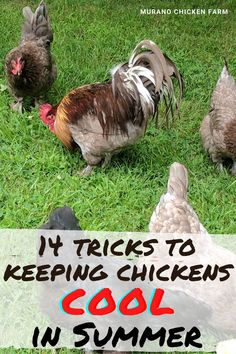 Cute Chickens, Keeping Chickens, Backyard Chickens, Raising Chickens, Chicken Story, Summer Chicken, Chicken Pictures, Egg Incubator, Guinea Fowl
