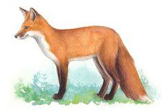 Metsä kuvat - Kiertävä luontokoulu Naakka Fox, Animals, Animales, Animaux, Animal, Animais, Foxes