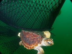 Loggerhead turtles are listed as endangered on the West Coast. Therefore it is important for them to dodge fishing nets.