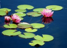 Water Lily Garden | WATER LILIES AT THE NEW YORK BOTANICAL GARDEN