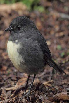 South Island Black Robin New Zealand