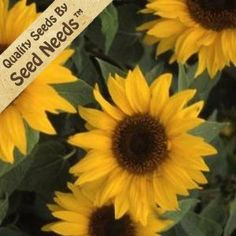 """100 Seeds, Sunflower """"Yellow Pygmy"""" (Helianthus annuus) Seeds By Seed Needs by Seed Needs: Flowers. $1.65. Temperature: 60F. Average Germ Time: 14 - 21 days. Moisture: Keep seeds moist until germination. Soil Type: Moist, well-drained, pH 6.1 - 7.5. Light Required: No. Season: Annual. Easy planting instructions printed on each Seed Needs packet along with a colorful picture of the plant.. Height: 18 to 22 inches. Bloom Color: Yellow. Environment: Full sun. Plant Spacing: ..."""