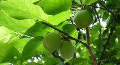 梅の実 - Google 検索