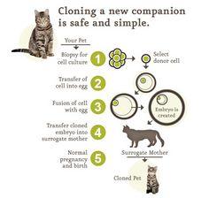 Cloning your cat