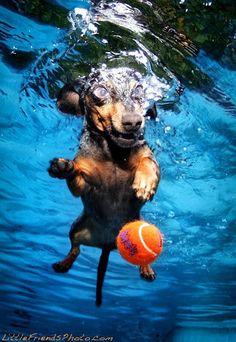 Wiener dog playing fetch