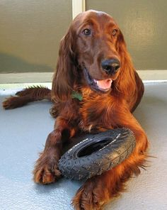 My childhood dog was an Irish Setter. Murphy was a wonderful dog. Absolutely beautiful and such a gentle soul.
