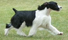 This is not my dog, but my two English Springer Spaniels are my current children. Great, funny dogs.