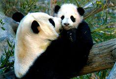 Panda bear and baby