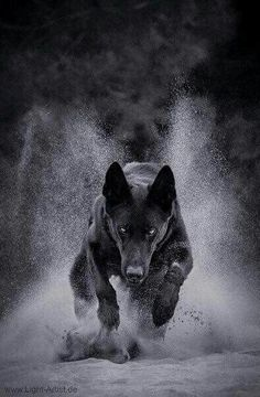 The power of the wolf is swift, just, for survival.
