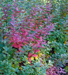 Shrubs with fall foliage: Great fall colors aren't just found on trees. Some of the best shades of orange, red yellow and even purple come from these shrubs with fall foliage.