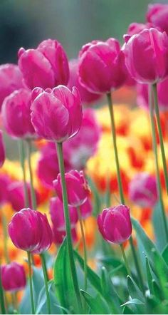 ~~The 25 Best Tulips for Your Garden | Among the most beloved bulbs, tulips also offer some of the biggest variety. Here are top choices to consider for your garden. this image: Tulipa 'Negrita' the purple color looks great in the garden with almost everything. | BHG~~