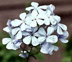 https://flic.kr/p/7FVLS | CanonAE1 flowers Plumbago | This one of the few film Photos I have Scientific name: Plumbago auriculata Pronunciation: plum-BAY-go ah-rick-yoo-LAY-tuh Common name(s): Plumbago, Cape Plumbago, Sky Flower, Cape leadwort Family: Plumbaginaceae Plant type: shrub Origin: South-Africa