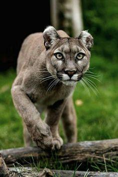 Cougar stalking prey