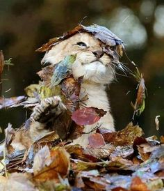 11 week old lion plays with leaves.. aww