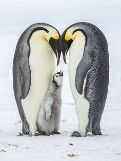 Penguin Life, King Penguin, Penguin Art, Emperor Penguin Facts, Emperor Penguins, Animals And Pets, Baby Animals, Cute Animals, Penguin Species
