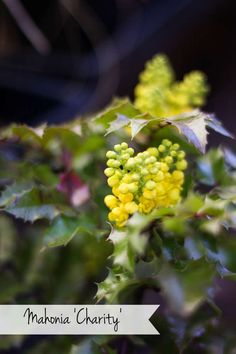 Mahonia 'Charity'  #gardening #flowers #plants