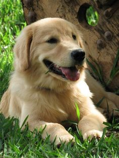 Golden Retriever #GoldenRetriever #LabradorRetriever
