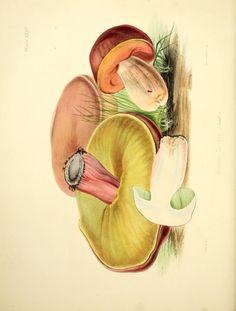 Boletus luridus. Illustrations of British mycology ser.2 London,Reeve, Benham and Reeve,1847-55. Biodiversitylibrary. Biodivlibrary. BHL. Biodiversity Heritage Library