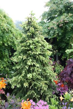 Picea abies 'Aurea Magnifica' (Magnificent Golden Norway Spruce) in late spring after rain.