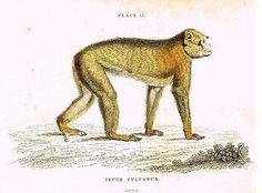 "Jardine's ""Naturalist's Library"" - ""INUUS SYLVANUS"" - Hand/Col'd. Eng. -c1833"