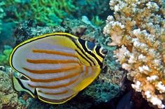 Every year dive resorts around the globe count butterfly fish, which can often reflect the health of the world's coral reefs. We are proud to say they are in abundance, in Lalati Resort. a  Beqa Lagoon resort!
