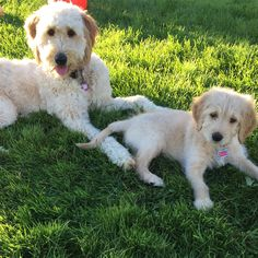 Brother and sister goldendoodles