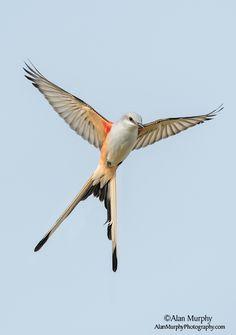 scissor-tailed flycatcher: Oklahoma's state bird