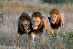 Male Lion Pictures of Londolozi Kidnapped Girl, 3 Lions, Bravest Warriors, Lion Pictures, Male Lion, Game Reserve, 12 Year Old, Leopards, Fauna