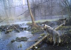 A wolf in a wood in Ukraine's Chernobyl
