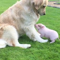 """""""Mi piace"""": 8,681, commenti: 332 - PUPPYDIARY (@puppydairy) su Instagram: """"Meet Luna and Cloud, the two best friends that will melt your heart! Tag someone who like Golden…"""""""