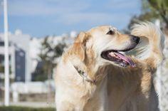 Perros de asistencia para personas autistas.
