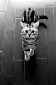 Silver classic tabby American Shorthair  (cat)