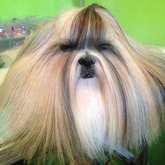 Hello friend #mimi_shampoo #mimi_shihtzu #pet #shihtzu #shihtzus #shihtzulover #shihtzupuppy #showcasing_pets #cutedog #Beautiful#TopDogPhoto