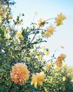 'Helena Rutherfurd Ely' dahlias can reach 10 inches in diameter and grow on sturdy purple stems.