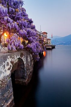 Wisteria hanging over Lake Como in Italy