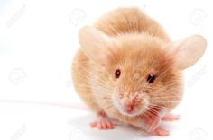 Cute Mouse On White Stock Photo, Picture And Royalty Free Image ...